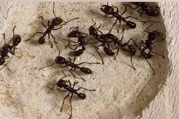 How to Get Rid of Ants Without Killing Them-Reasons-solution